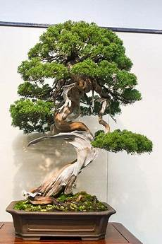 20 Juniper Juniperus Chinensis Tree Bonsai Seeds