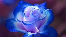 beautiful roses top ten roses top 10 beautiful flowers youtube