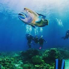 Unterwasser Tiere Malvorlagen Instagram Napoleon Fish Cairns Greatbarrierreef Diving Napoleonfish