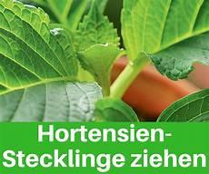 hortensien vermehren blumen pflanzen gem 252 se