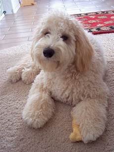 16 new goldendoodle haircut guide pictures meowlogy goldendoodle afternoon cute dogs goldendoodle cute animals