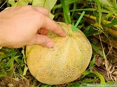 how to ripen a cantaloupe 13 steps with pictures wikihow