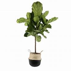 costa farms 10 in fiddle leaf fig in seagrass in planter fl11 at lowes com