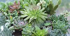 Dickfleischige Pflanze Sukkulente - types of succulents pictures included easy grow drought