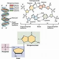 nucleotide definition structure 3 parts exles function