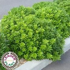 arbustes nains pour rocaille pittosporum nain du japon jardin arbustes 224 feuillage