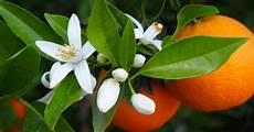 fiori d arancio fiori di arancio il mirto ricevimenti