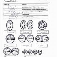 meiosis worksheets answer key