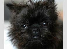 Affen Terrier : Mix of Border Terrier and Affenpinscher.