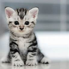 50 Koleksi Gambar Kucing Comel Dennis G Zill