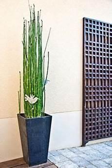 prele du japon en pot growing horsetail plants d 233 co jardin jardins et equisetum