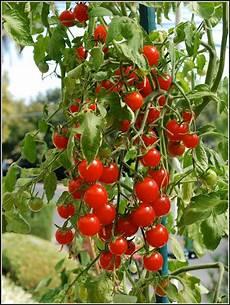 tomaten pflanzen balkon zeit balkon house und dekor