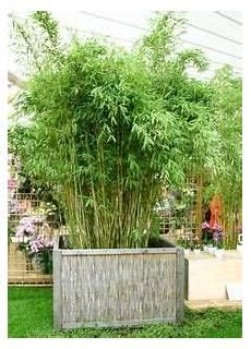bambus bambus als k 252 belpflanze pflege pflanzgef 228 223 e