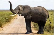 Malvorlage Afrikanischer Elefant 60x90 Poster Afrikanischer Elefant