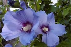 der richtige standort f 252 r ihren hibiskus hibiskus pflege