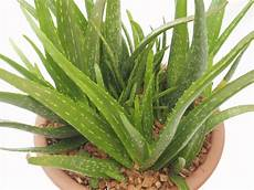 pflanzen welche erde the diverse uses headed for aloe arborescens desirable