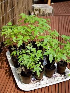 tomaten und andere gem 252 se ins warmhaus s 228 en die parzelle