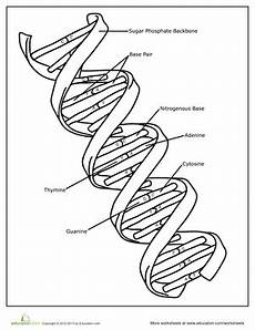 dna worksheet education com
