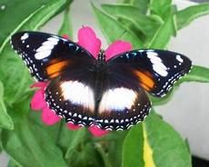 renda blaco variasi hypolimnas betina si kupu kupu renda nan rupawan