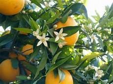 fiori d arancio significato fiori d arancio per il giardino della principessa peranca