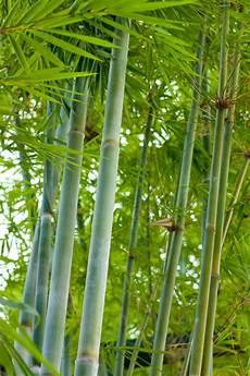 bambuspflanzen 187 alle infos rund ums bambus pflanzen