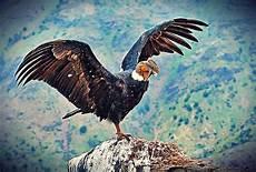 imagenes de los simbolos naturales del estado carabobo c 243 ndor andino ave emblem 225 tica del estado m 233 rida venezuela cuadros animales c 243 ndor ino