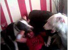 Staffordshire Bull Terriers attack owner   YouTube