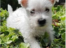 West Highland Terrier Dog Breed   Facts, Highlights