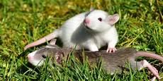 ratten fangen tipps so leben gl 252 ckliche ratten tipps zur haltung farbratten