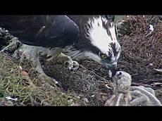 Cara Memberi Makan Induk Burung Elang Kepada Anaknya