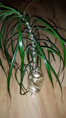 palme umtopfen wurzeln abschneiden palme wurzeln hilfe pflanzen wurzel palme