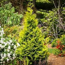 polar gold arborvitae shrubs for sale the tree center