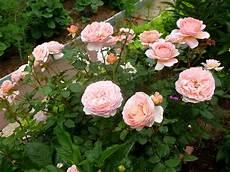 роза абрахам дерби описание сорта фото посадка и отзывы