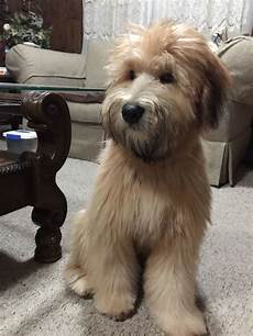 soft coated wheaten terrier haircut photos pin by pin on puppies