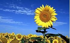 Gambar Bunga Matahari Yang Cantik Bunga