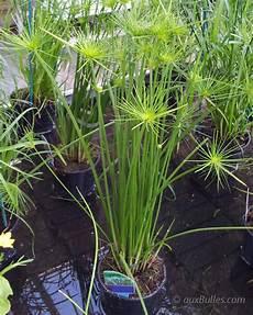 Bassin De Jardin Les Plantes Aquatiques Le Papyrus