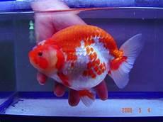 Tips Cara Merawat Burayak Ikan Koki Budidaya Ikan