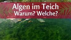 warum algen im teich welche algen habe ich fadenalgen