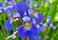 iris fiore coltivazione iris come curare e coltivare gli iris in vaso e in giardino