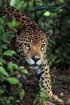 costa rica expeditions jaguar felis once