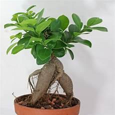 Ficus Ginseng Todo Ficus