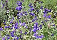 kübelpflanzen winterhart blühend winterharter zierstrauch caryopteris clandonensis kew