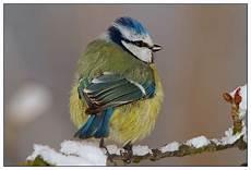Blaumeise Im Winter Parus Caeruleus Bild Foto