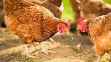 nourriture poules pondeuses alimentation pour poules pondeuses c 244 t 233 maison