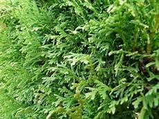 thuja hecke pflanzen hedge ideas for central central fl
