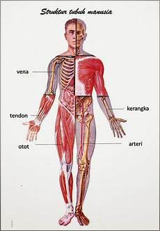 Gambar Anatomi Organ Tubuh Manusia Freewaremini