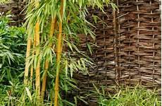 bambus richtig pflanzen wann wie und wo g 228 rtner p 246 tschke