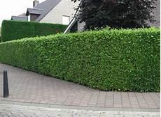 Laurel Hedging Buy Laurel Hedge Plants Hopes