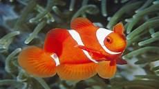 Fish Gambar Ikan Hias Cantik Clown Trigger 11