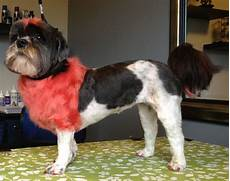 lion cut on lucy the shih tzu with a red dyed mane tail
